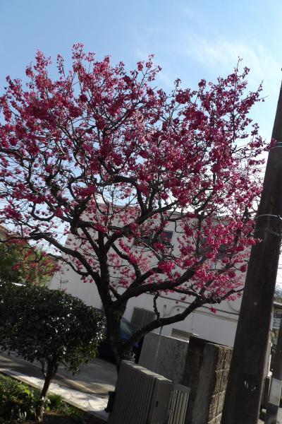 佐助1の寒桜