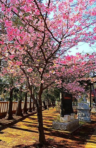 船橋-2 星影神社 カワヅザクラがご神木 ☆淡紅色の花咲いて/3月8日満開