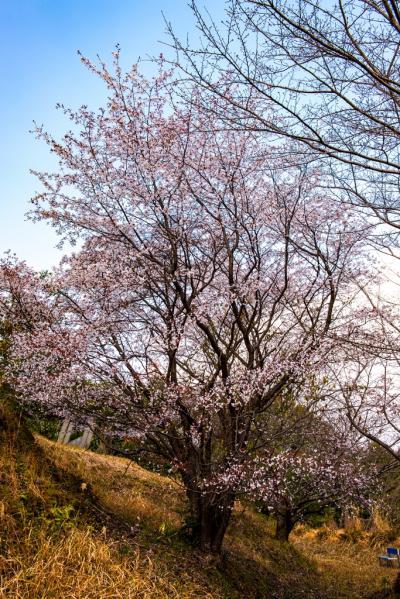 山桜さがし 2019