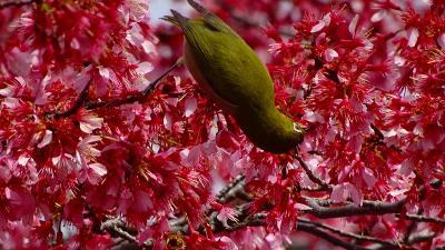 花博記念公園鶴見緑地(08) 西ゲート近くに咲く、おかめ桜と河津桜とメジロ 上巻。
