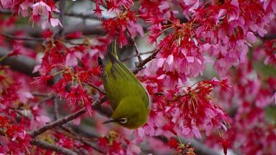花博記念公園鶴見緑地(09) 西ゲート近くに咲く、おかめ桜と河津桜とメジロ 下巻。