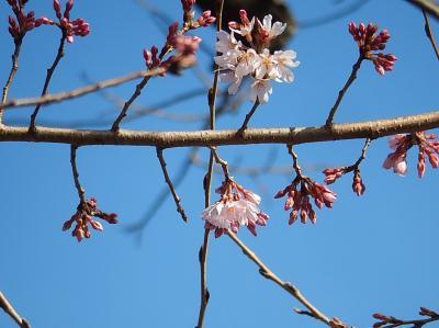 ふじみ野市ビバホームバス停横のソメイヨシノが開花しました
