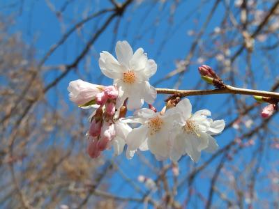年に2度開花始めた冬桜