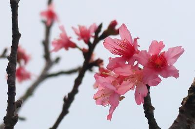 香港★桜を見に行ったついでにちょっとハイキング ~扶輪公園櫻花園・大帽山家樂徑~