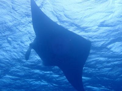 石垣島2019春(9)黒島ダイビング:マンタが頭上を行ったり来たり、上にはマンタ。下にはカメ