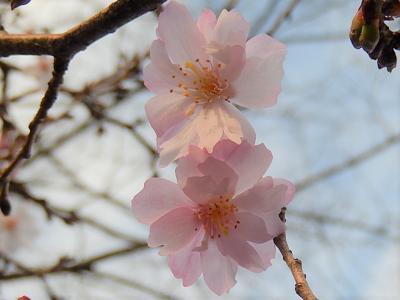 久しぶりに西鶴ケ岡地区にある十月桜を観察しました