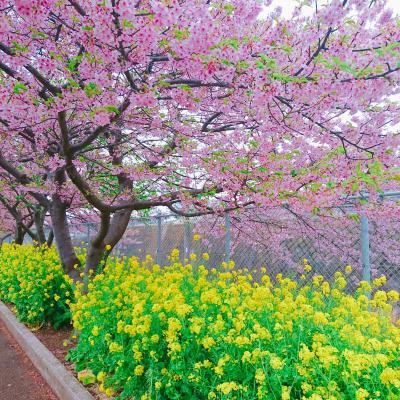河津桜を見に三浦海岸へ!