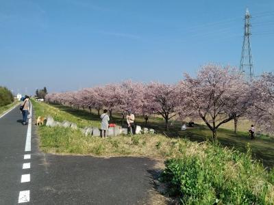 早咲きの安行寒桜「坂戸にっさい桜まつり」2019/3/20