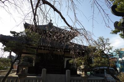 鎌倉本覚寺の枝垂れ桜が3部咲きです