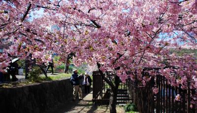 淀水路の河津桜が見頃になって来たと聞いて!