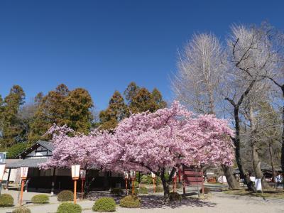 「世良田東照宮」のサクラ_2019_早咲きの桜が満開です(群馬県・太田市)