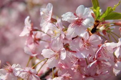 淀水路の河津桜の満開を愛でてきました♪