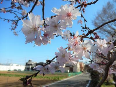 二度目の開花が始まった亀久保西公園の冬桜