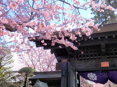 少し早めのお花見さんぽ♪桜が舞う密蔵院と安行桜御朱印@九重神社