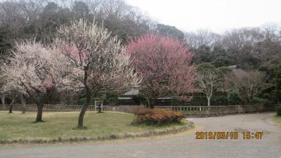 東海道 藤沢の宿:梅が満開
