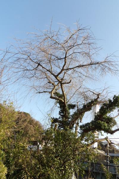 今年は意外に遅そう 名越坂踏切脇の枝垂れ桜