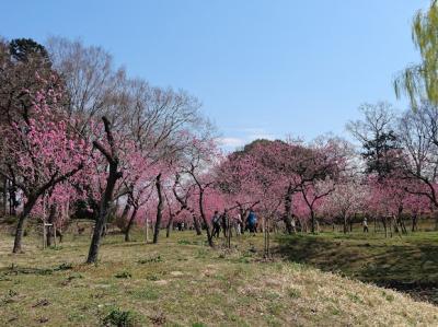 古河総合公園の桃祭り