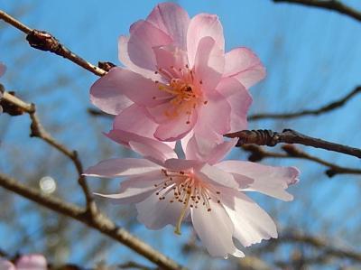 二度咲きの十月桜を見る