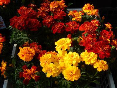 ガーデンセンターで見られた春の花(29)