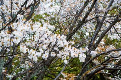 南立石公園の山桜と躑躅 2019