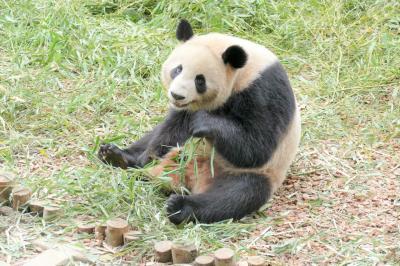 【1】成都パンダ基地 (成都大熊猫繁育研究基地)~双子を生んだ艾莉に会いに