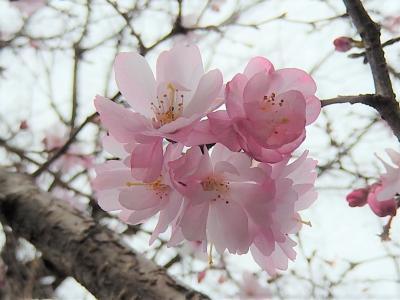 二度目に開花した美しい十月桜