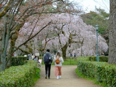 京都もそろそろ桜の季節に・・・!2019年