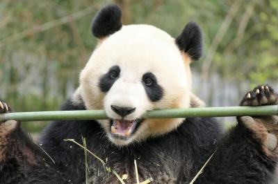 【2】熊猫楽園 (中国大熊猫保護研究中心 都江堰基地)