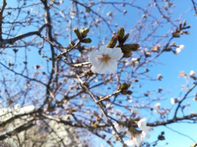 【桜の開花状況2019】戸塚の柏尾川の桜でお花見をしている人がいたよ。満開は来週かな?屋台がありました。