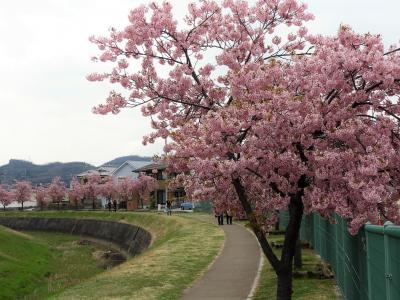 一足早く満開の小野市大島川沿いの河津桜
