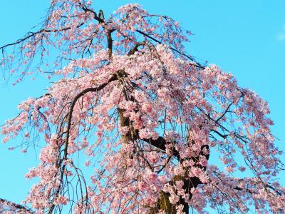 ソメイヨシノ満開前に枝垂桜を楽しむ一日