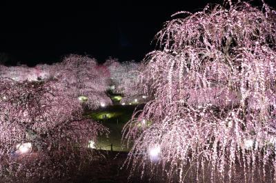 梅の最盛期は終わっちゃいましたが鈴鹿の森庭園ライトアップ♪