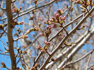 ふじみ野市西鶴ケ岡公園の桜