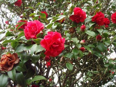 耳納風景街道を歩いて、咲き誇る椿の花を楽しもう