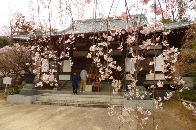 西林寺の枝垂れ桜は散り始めです-2019年