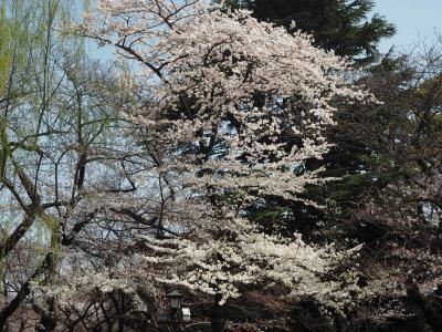 桜の様子を下見 飯田橋周辺散歩