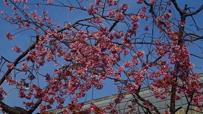 東野地区を中心に桜花を探しての街歩き その1。