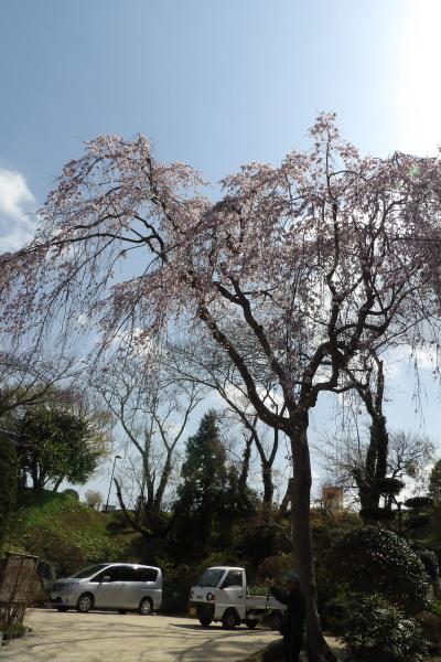 光長寺の枝垂れ桜-2019年