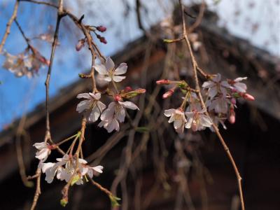 今年も桜が咲き始めました♪‐谷中日暮里界隈‐