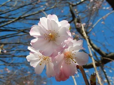 二度開花した亀久保西公園の冬桜を見る