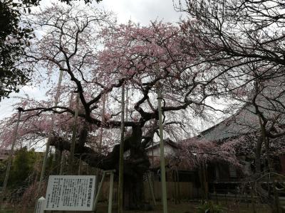 龍ヶ崎の般若院のしだれ桜