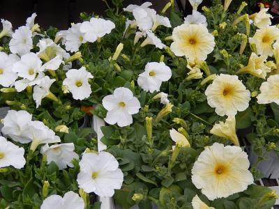 ガーデンセンターで見られた春の花(30)