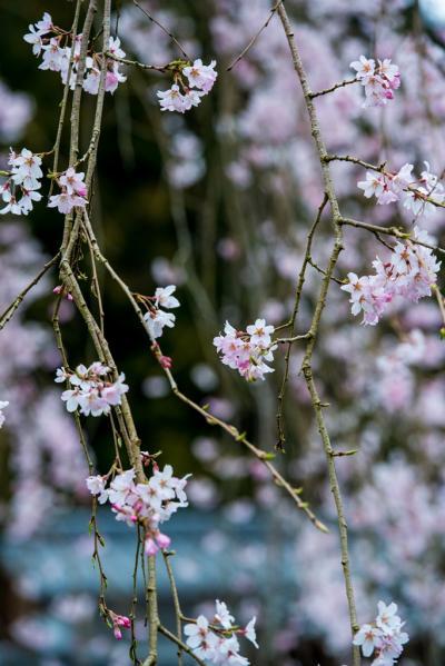 枝垂れ桜を求めて 2019