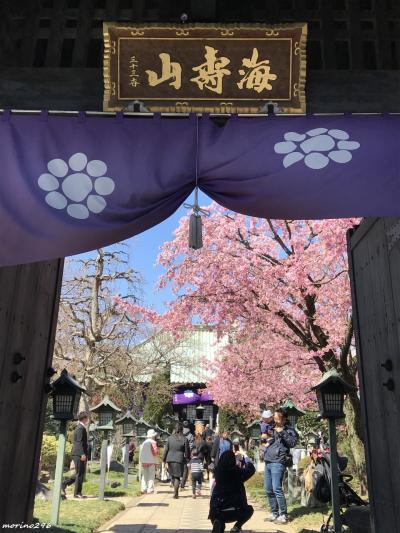 満開の安行桜を愛でに@密蔵院