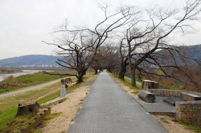 2019年背割堤桜並木開花情報1