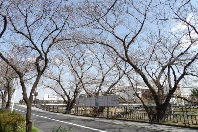 柏尾川の桜は3、4分咲き-2019年