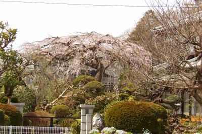 石井家の枝垂れ桜-2019年