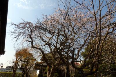 鎌倉本覚寺の枝垂れ桜は見頃を過ぎつつあります-2019年