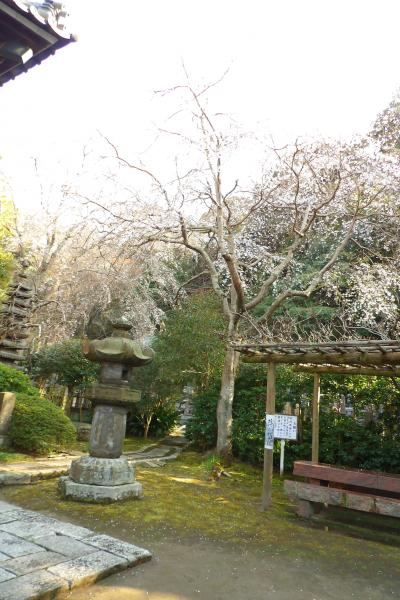 鎌倉安国論寺の枝垂れ桜は満開を過ぎつつあります-2019年