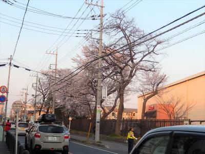 満開のビバモール前バス停横の桜